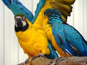 美洲金刚鹦鹉图片