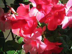 红蝉花图片