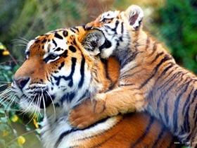 孟加拉虎图片