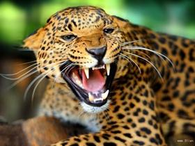 森林野兽花豹图片