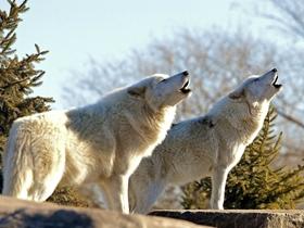野生狼王图片
