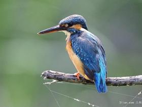 动物翠鸟图片