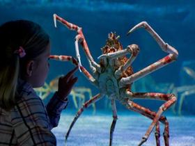 日本蜘蛛蟹