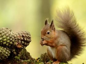 繁忙的小松鼠图片