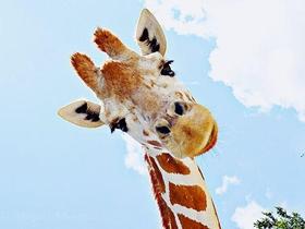 长颈鹿的卖萌表情图片