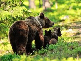 棕熊与小熊仔图片