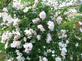 光叶蔷薇图片