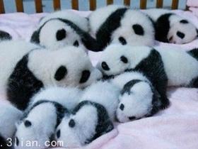 成都新出生熊猫宝宝图片