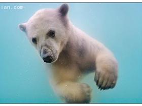 北极熊的水中芭蕾图片