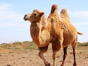 可爱的骆驼图片