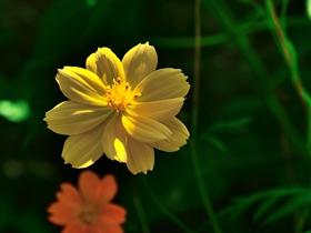 橙色格桑花图片