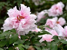 白牡丹花图片