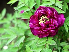 紫牡丹花图片