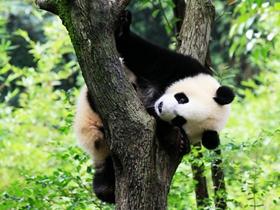 淘气的熊猫图片