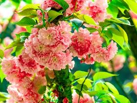 灿烂的樱花图片