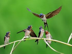 一群小燕子图片