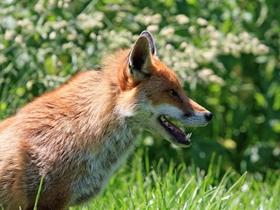 机智的狐狸图片