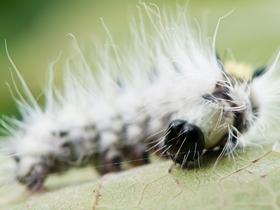 毛毛虫微距图片