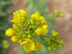 黄色油菜花图片