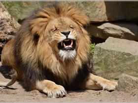 公狮子图片