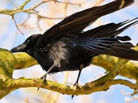 黑色的乌鸦图片