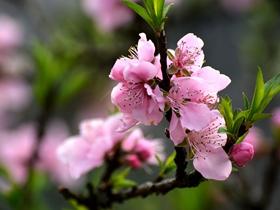 粉红色桃花图片