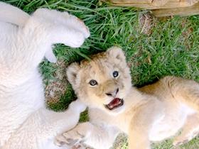 幼狮子图片