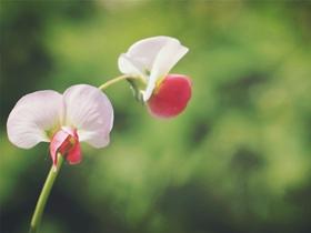 豌豆角花朵图片