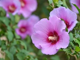 粉色木槿花图片