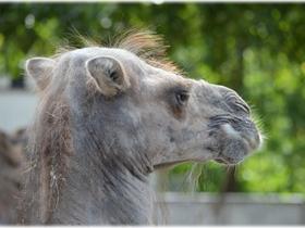 骆驼头部特写图片