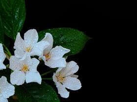 布满水珠的樱花图片