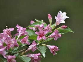 锦带花图片