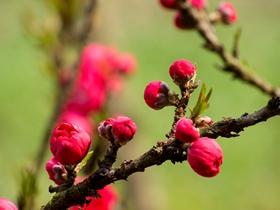 桃花花蕾图片