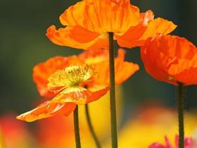 黄色罂粟花图片