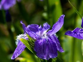 紫色鸢尾图