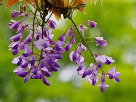 紫藤的图片