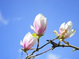 玉兰花的图片