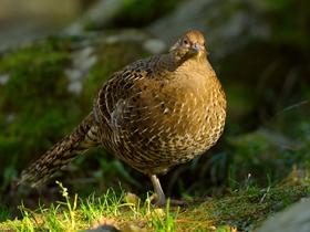 雌性雉鸡图片
