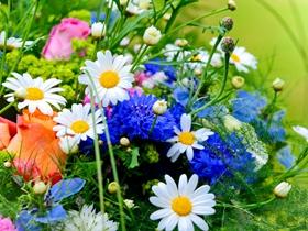 各种颜色的雏菊图片
