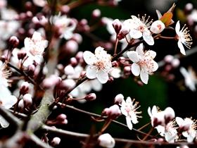 白色梅花图片