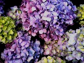 蓝色绣球花图片