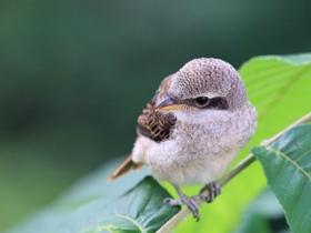 可爱的伯劳鸟图片