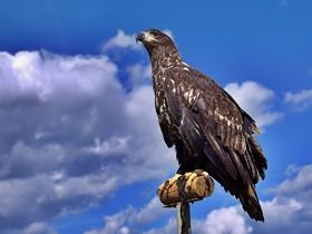 蒙古猎鹰图片