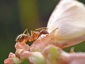 通体半透明的长角捷蚁图片