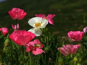 虞美人花朵图片