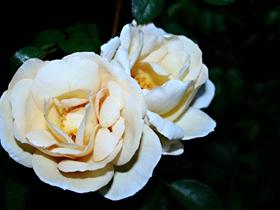 纯洁的白玫瑰图片
