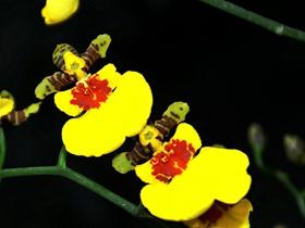 各种颜色的蝴蝶兰图片