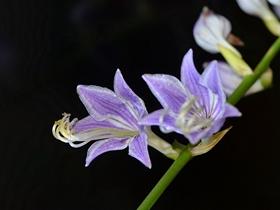 紫色的玉簪花图片