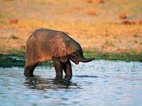 野生大象嬉水图片