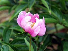 粉色芍药花图片